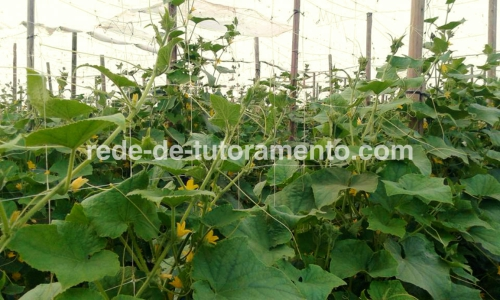 Cultivo de pepino com malha treliça em campo aberto