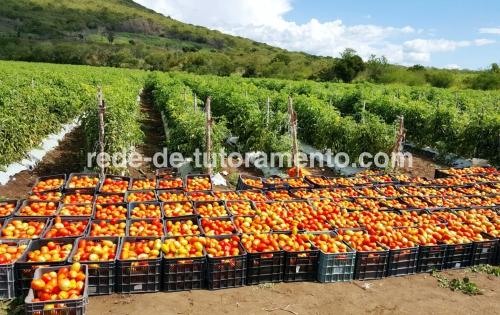Produção de tomate de campo aberto