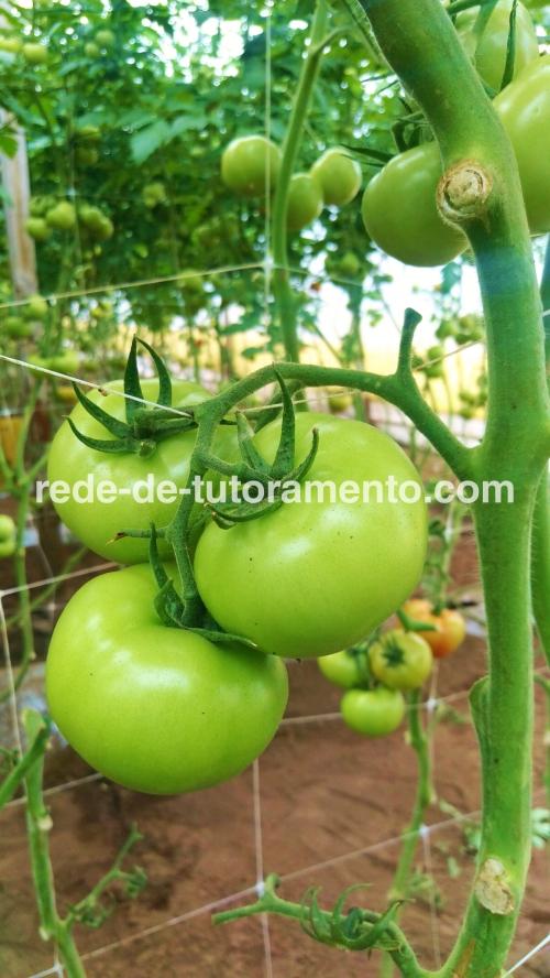 grupo do tomate com malha treliça em casa de vegetação